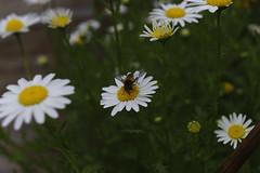 _DSC2104 (Osamu1965) Tags: flower japan zeiss garden spring sony contax jp   okayama     a7m2  carlzeissvariosonnart2870mmf3545mm