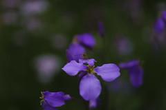 _DSC2087 (Osamu1965) Tags: flower japan zeiss garden spring sony contax jp   okayama     a7m2  carlzeissvariosonnart2870mmf3545mm