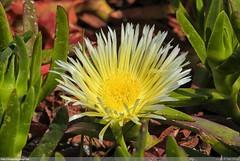 Choro-da-Praia (Carpobrotus edulis) (Joo Clrigo) Tags: planta praia beach flor carpobrotusedulis chorodapraia