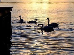 Golden fjord (halifaxlight) Tags: sunset norway reflections dock feeding silhouettes swans fjord bergen sandviken bergenfjord