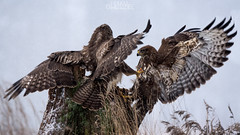 The battle for the throne (lookashG) Tags: winter mist snow bird nature wet birds animal animals fog fauna fight haze action wildlife natura aves wintertime zima animalia buteobuteo nieg ptak walka mga ptaki commonbuzzard zwierzta myszow akcja mgy portretrodowiskowy 70400mmf456gssm lookashggmailcom portraitofenvironmental ukaszgwidziel sonyilca77m2