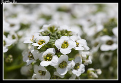 Alyssum (Lobularia maritima) (jemonbe) Tags: crucifera alyssum aliso lobulariamaritima jemonbe alisodemar