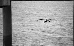Pelican, you're clear for landing (Emily Kistler) Tags: ocean bridge blackandwhite bw bird gulfofmexico water animal tampa outdoors bay flying florida flight pelican landing causeway clearwater courtneycampbellcauseway