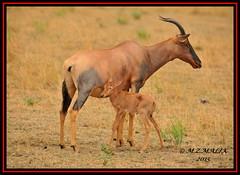 TOPI (Damaliscus lunatus jimela)......MASAI MARA......OCT 2015 (M Z Malik) Tags: africa nikon kenya wildlife ngc safari masaimara maraserena d3x transmara exoticafricanwildlife 200400mm14afs