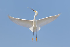 Snowy Egret (bmse) Tags: county ca blue orange white yellow canon fly snowy symmetry l stick material f56 egret wingspan nesting salah 400mm wingsinmotion 7d2 bmse baazizi