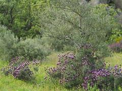 El abandono del campo o el retorno a lo salvaje (D. Moreno) Tags: trees tree arbol arboles lavender olivetree olivo lavanda olivera