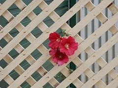 Flowers on Lattice (mikecogh) Tags: flowers contrast buds lattice thebarton