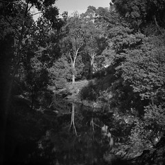 Autumn Leaves (Shooting Ben) Tags: autumn trees blackandwhite bw reflection 6x6 mamiya water leaves creek mediumformat river natural symmetry 6x7 nofilter mamiyarb67 caffenol caffenolc