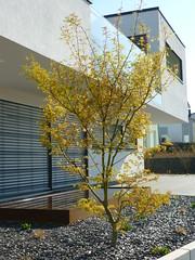 Acer palmatum ´Seiryu´ (Jörg Paul Kaspari) Tags: plant spring maple pflanze acer garten strauch frühling palmatum ahorn moderner gehölz wincheringen moderngarden drachenschwanzahorn ´seiryu´ acerpalmatum´seiryu´