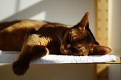 Life on a shelf (DizzieMizzieLizzie) Tags: portrait sun beautiful zeiss cat wonderful chats feline sony lizzie gato siesta meow katze abyssinian gatto katzen kot katt aby batis pisica mirrorless a7m2 dizziemizzielizzie