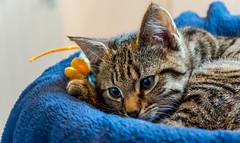 DSC_0059-1 (chat_44) Tags: cat chat animaux yoshi chaton flin miaou tigr rwing