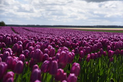 I have an everyday religion that works for me. Love yourself first, and everything else falls into line. Lucille Ball (Pics4life.nl) Tags: nature nederland natuur buiten landschap tulpen