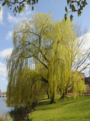 Kleiner Kiel - blhende Trauerweide (Salix babylonica); Kiel (5) (Chironius) Tags: trees flower tree fleur germany deutschland weide wasser rboles blossom sauce flor boom arbres willow rbol alemania grn  fiore albero blte bume allemagne arbre rvore baum kiel trd germania schleswigholstein blten wilg salice weiden salix ogie aa  pomie saule   osier  st  salicaceae  niemcy  rosids  malpighiales   salcio pomienie weidengewchse marsault malpighienartige szlezwigholsztyn  fabids