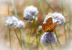 """""""A Little Bit of Heaven"""" / The Endangered Quino Checkerspot Butterfly (Cathy Lorraine) Tags: california butterfly mexico san riverside native diego yosemite species wildflowers baja endangered mariposa quino checkerspot"""