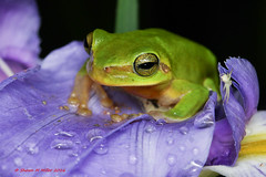 Hallowell's tree frog (Hyla halowelii) (Okinawa Nature Photography) Tags: tree green frog amphibians naturesbest naturephotography hyla yanbaru ogimi canonoutdoors okinawanaturephotography reptilesandamphibiansofokinawa shawnmmillerphotography hallowells wildlifeofokinawa wildlifeinokinawa halowelii