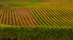 Depth of field :) (dmunro100) Tags: autumn fall colors field lines canon season eos vineyard vines waves colours wine curves surreal hills grapes adelaide southaustralia slopes wineries 60d canonef70300mmf456lisusm