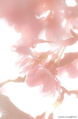 DSC_8523 (Frankie Tseng ()) Tags: park pink flowers sunset sky bw flower silhouette photography 50mm blackwhite nikon outdoor flash sunny tokina cherryblossoms fade nikkor 70300mm tamron 90mm f8 1224mm f28 f4 1870mm bwphotography blackwhitephotography portraitphotography outdoorportrait sb900 yongnuo outdoorportraitphotography yn568