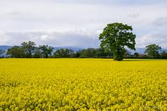 Campagne genevoise (Didier Mouchet) Tags: field yellow jaune landscape switzerland nikon suisse culture paysage landschaft genve campagne arbre printemps  champ colza  violacin corsier vergewaltigung    helvtie  voldtgt  didiermouchet