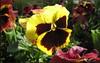 Macro bloom (> Pinoy) Tags: flowers flower macro nature floral garden yellows macros florals mayflowers flowerimages