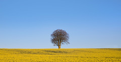 Tree in Oilseed Number Three (wentloog) Tags: uk morning blue sky cloud plant tree yellow wales canon landscape eos dawn countryside spring britain outdoor farm cymru cardiff caerdydd glamorgan 5d series agriculture oilseed canoneos5d wentloog stevegarrington michaelstoneyfedw