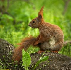 Holding own tail (hedera.baltica) Tags: squirrel redsquirrel wiewirka sciurusvulgaris eurasianredsquirrel wiewirkapospolita