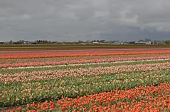 Tulpen in Lisse (Knoffelhuisie Photography.) Tags: orange tulips nederland tulip tuin bollen oranje tulpen tulpe tulp lisse tulipfields bloembollen