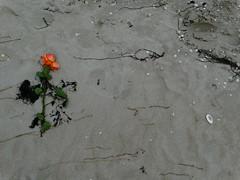 Loslassen (Manuela Vierke) Tags: beach rose strand germany deutschland sand pflanze balticsea insel blume rgen tod ostsee mrz abschied mecklenburgvorpommern trauer 2016 prora verlust meckpomm seebestattung