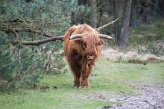 Highland cattle (a.limbeek) Tags: