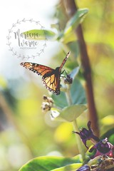 Butterfly (Mariana Warne) Tags: park naturaleza nature butterfly 50mm spring warm mariposa magicmoments balboapark monarca canonrebelt2i