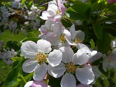 20160422_BadIschl_A_05 (weisserstier) Tags: flower tree austria sterreich blume blte baum salzkammergut kurpark badischl