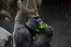 tropic world. july 2015 (timp37) Tags: world summer zoo illinois gorilla eating july brookfield tropic 2015