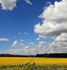 On The Golden Trail (Steve Major) Tags: uk sky cloud plant field grass clouds landscape outdoor dorset fields serene englishcountryside oilseedrape sigma1020 almer stevemajor canon60d dorsetcountryside onthegoldentrail chalbrough