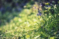 Bluebell (TraceyDobbs86) Tags: light flower macro dof