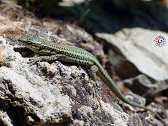 Largarto (mlinares2505) Tags: naturaleza reptil miguellinares fz200