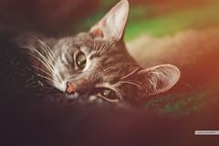 Kenny (terra_irrornita1) Tags: portrait cats pets home animals closeup kenny