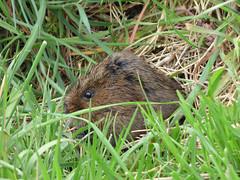 Water Vole (Peanut1371) Tags: brown grass mammal vole watervole nationalgeographicwildlife