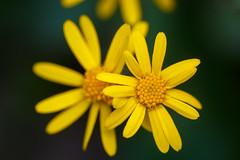 One by one (ranzino) Tags: flower us unitedstates pennsylvania pa wildflowers wildflower conestoga pequea shenksferrywildflowerpreserve