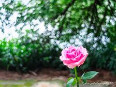 Rose () Tags: macro rose olympus grlitz m42 zebra 28 29 f28 meyer omd em1  m43 optik 29mm meyeroptik orestegon 29mmf28 micro43 microfourthirds  meyeroptikgrlitzorestegon29mmf28 meyeroptikgrlitzorestegon29mmf28zebra olympusem1