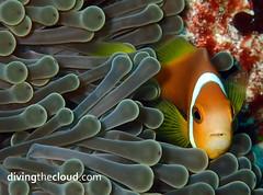 Maldive anemonefish - Pez payaso de Maldivas (divingthecloud) Tags: sea fish pez mar agua diving clownfish maldives buceo maldivas pezpayaso fotosub bajoelagua maldiveanemonefish pezpayasomaldivas