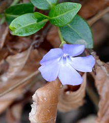 Pervenche d'hiver du 10 janvier ! (decuyperbrigitte) Tags: winter flower fleur hiver flor blume kwiat pervenche