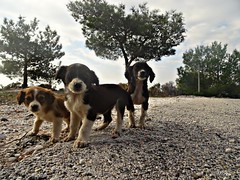 the three Musketeers.!!! (panoskaralis) Tags: dog pets dogs nature hellas greece lesbos mytilene aegeansea orfans lesvosisland
