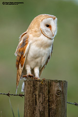 Barn Owl, Tyto alba (Nigel Blake, 13 MILLION...Yay! Many thanks!) Tags: bird history nature birds barn canon fence photography eos flying post natural alba wildlife hunting flight owl species perched blake nigel ornithology fens owls barnowl tytoalba strigiformes lechuza kerkuil screechowl birdphotography tyto corujadastorres tytonidae schleiereule tylluanwen tornuggla effraiedesclochers tornipll 1dsmkiii slrugle eos1dsmkiii 600mmf4lis 600mmf4is nigelblake gyngybagoly turnugla trnugle nigelblakephotography billywix ginnyollit comhachagbhn barbagiann scrachgreilige