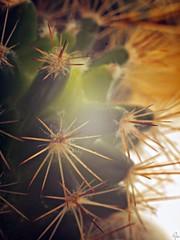 Cactus (Oczyma Duszy) Tags: cactus macro brick film nature closeup doll natura textures bark makro cumin kora kaktus lalka tonner porschecarrera cegła extentiontubes tinykittycollier lauraceae kumin helios442 factures klisza faktury pierścieniepośrednie olympusepl5 liśćlaurowy fotografiazbliżeniowa