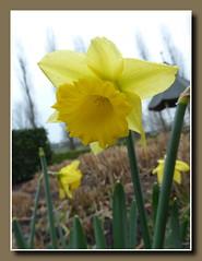 Verrckte Zeit, blhende Narzisse Anfang Januar 2016 (p_jp55 (Jean-Paul)) Tags: flower fleur narcisse luxembourg luxemburg narcissus bloem narzisse osterglocke saarlorlux remich ltzebuerg rimech