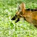 Visita ao Zoológico de São Paulo, Brasil - Visit the Zoo Sao Paulo, Brazil - Lobo-guará (Chrysocyon brachyurus)