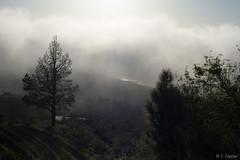 Misty Pine Tree (Torsten-Zander) Tags: sky mist nature pinetree clouds landscape lapalma greentree