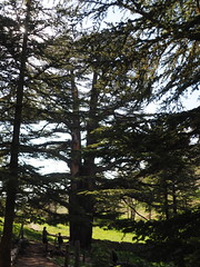 Cedars of God Forest (Wendkuni) Tags: lebanon mitch valley cedars cedartree cedarsoflebanon kadisha qadishavalley kadishavalley