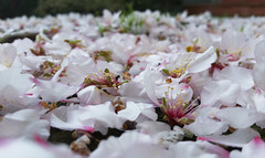 Remembering the fallen - by phone (acyee) Tags: flowers tree petals spring blossoms cherryblossoms 365 366 acyee 3662016