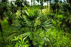 Young Livistona humilis (Sand Palm) (betadecay2000) Tags: plant flower tree green fleur bush outdoor top pflanze pflanzen australian australia palm palmtree end australien grn humilis bume palme baum busch australie bloem austral savanne livistona regenzeit