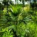Young Livistona humilis (Sand Palm)